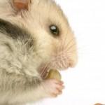 Hamster Feeding Habits