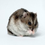 Tips for Choosing a Healthy Hamster