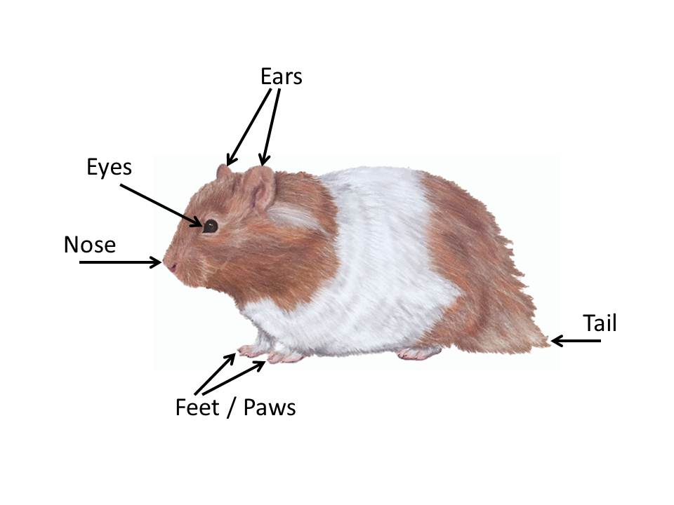 What Are the Parts of a Hamster Body? | Choose Hamster Cages