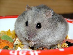 Hamster cheeks