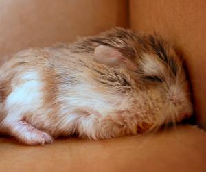 hibernating hamster