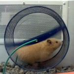 The Hamster Lifespan