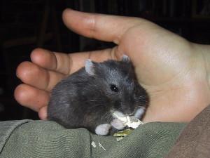 Campbells Russian Dwarf hamster